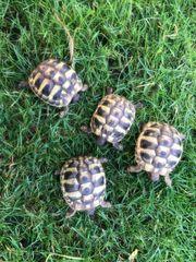 2 Griechische Landschildkröten Schildkröten NZ