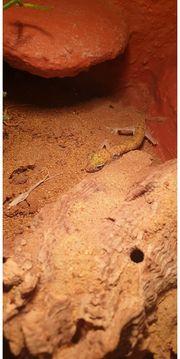 1 0 Stenodactylus sthenodactylus