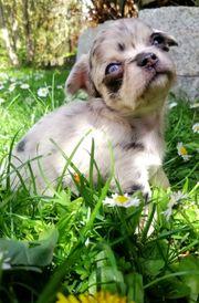 Entzückende reinrassige Chihuahuas