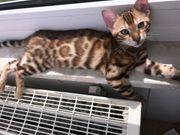 Bengal Kitten Bengal Kater Katze