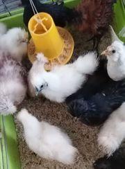 Zwerg Hühner Küken