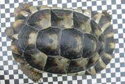 weibliche Breitrandschildkröte mit 1 kg