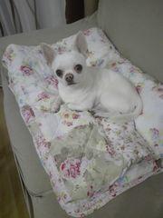Reinrassiger cremefarbener Chihuahua Rüde