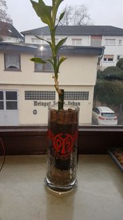 Mainz 05 Gläser mit Pflanzen