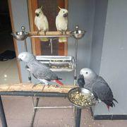 zwei Papageien zu verkaufen