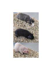 3er Skinny Pig Gruppe Kastrat
