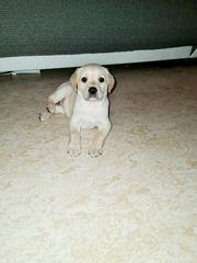 Süße Labrador welpe