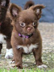 Wunderschöne Chihuahuawelpen schoko schwarz weiß