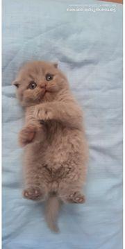 BKH Kitten Blue Lilac