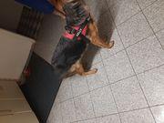 Schäferhund Hündin 7 Monate