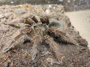 Vogelspinne Theraphosa blondi weiblich 6cm