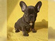 Blaue und schwarze Französische Bulldoggen