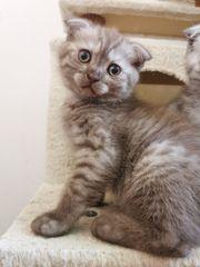 Bkh Kitten Abgabe bereit