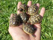 Griechische Landschildkrötenbabies geboren 2020 Testudo