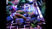 Meerwasser Ableger SPS lps weiche
