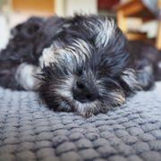 Hunde Welpen Zwergschnauzer schwarz-silber Rüde