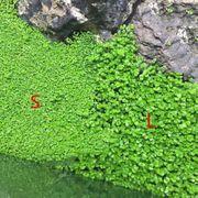Verschiedene Aquariumpflanzensamen