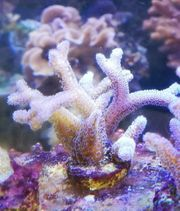 Meerwasser Koralle