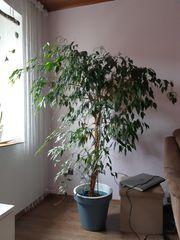 Benjamin Ficus Baum