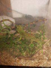 Madagaskar Grandis Taggecko