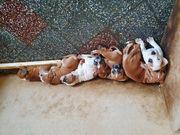 Old English Bulldogge Beagle Mix