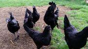 Ayam Cemani Bruteier komplett schwarze