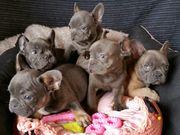 Sehr schöne französische Bulldoggen welpen