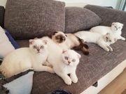 bkh scottish fold kitten abholbereit