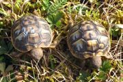 Griechische Landschildkröten aus der toskana