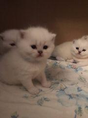 Zauberhafte Kitten Weiß Point mit