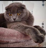 Scottish Fold Blue Katze Bkh