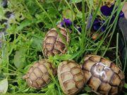 Testudo marginata Breitrandschildkröten landschildkröte Peloponnes