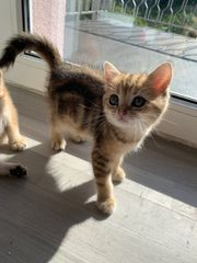 BKH Kitten Silver Tabby Shaded