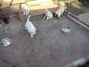 Labradorwelpen 8 Wochen alt reinrassig