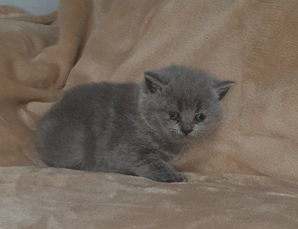 BKH Kitten Nur noch ein