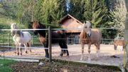 Offenstallplatz für Kleinpferde frei