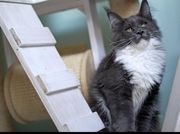 Maine coon süße Kitten
