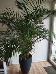 Zimmerpflanze Palme