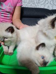 Wir haben süße reinrassige Ragdoll-Kätzchen