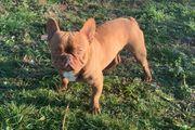 Französische Bulldogge Deckrüde Livernose ay