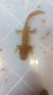 Axolotl Copper und Wildlinge