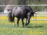 Deckanzeige von Black Quarter Horse