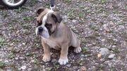 Reinrassige Englische Bulldogge Alternativ Welpe