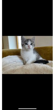 Maine Coon mix Kater