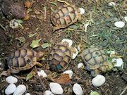 Nachzuchten der Testudo marginata Breitrandschildkröte