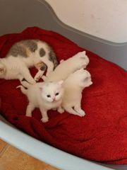 BKH Kitten Odd eyed Träger