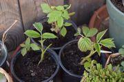 Himbeere Ableger Jungpflanzen ca 10-15