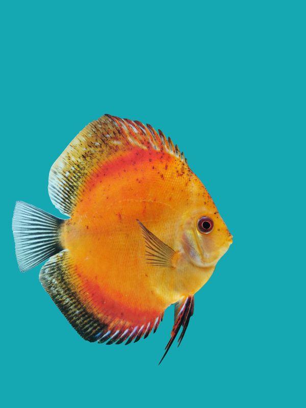 Wunderschöne Stendker Diskusfische