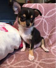 Chihuahua Prinzen suchen Traumschloss