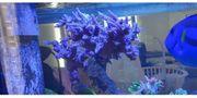 Meerwasser Acropora stock